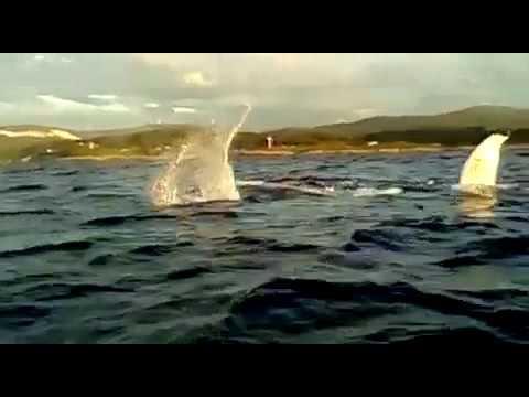 La abundancia de alimento provoca que los cetáceos se acerquen a la costa