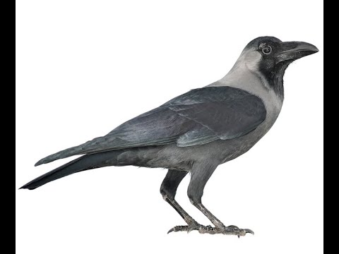 Bird Name- Crow