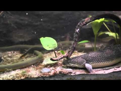 Feeding Bichirs And Ropefish Part 2