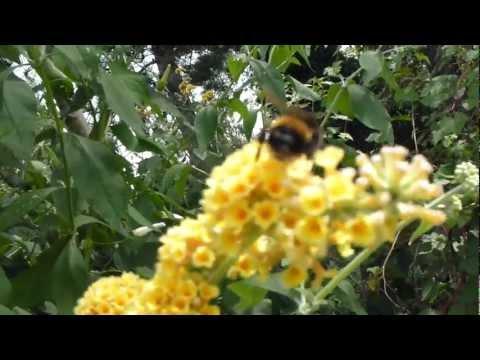 Butterfly Bush - Fiðrildarunni - Gul blóm - Skrautrunni - Garðskálaplanta