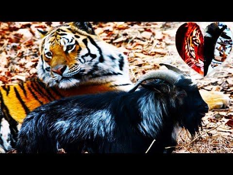 Тигр Амур и козел Тимур встретились