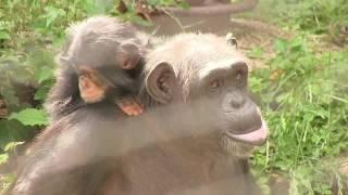 Download Video チンパンジー 双子の赤ちゃん111  Chimpanzee twin baby MP3 3GP MP4