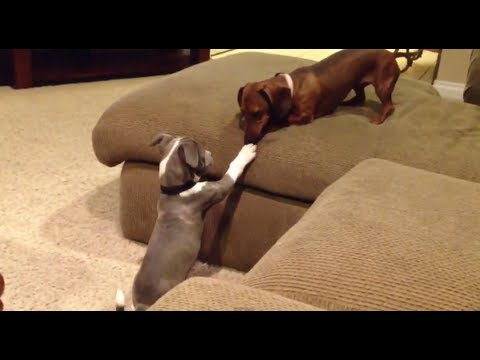 Ver Video de Pitbull Pitbull Puppy Playing with Wiener Dog