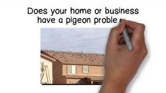 Pigeon Control Problem?  Let Pigeonpros help with your pigeon problem and bird control service!