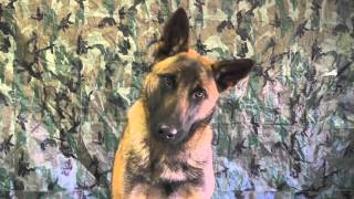 Malinois Puppy Training Lesson Thirteen