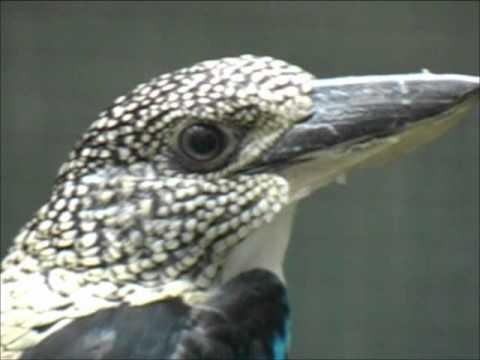 Spangled kookaburra,Dacelo tyro