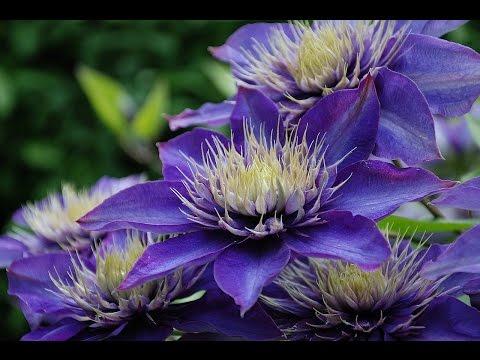 Дача. Цветники. Ассортимент растений синего цвета. Blue flowers.