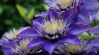 Дача. Цветники. Ассортимент растений синего цвета. Blue flowers.(Невозможно представить сад без синего цвета. Синие колокольчики, ирисы, васильки... Какие цветы лучше всего..., 2015-06-25T23:52:19.000Z)