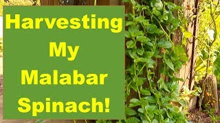Let's Go Harvest My Tasty Malabar Spinach: A Great Spinach Substitute!