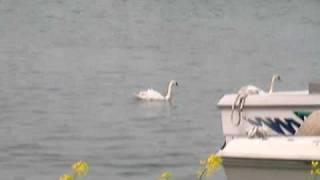 5/4 加茂湖の白鳥.