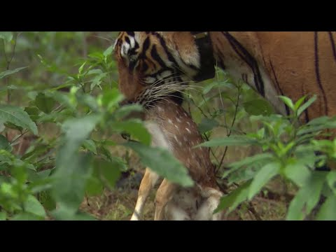Tiger hunts Baby Deer | BBC Earth