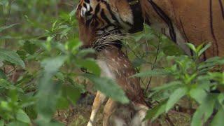 Tiger Hunts Baby Deer   Bbc Earth
