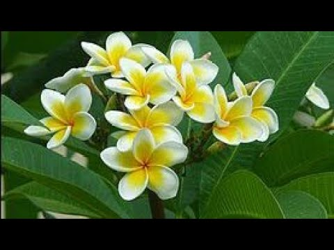 نبات الفتنة الياسمين الهندي Plumeria Alba Youtube