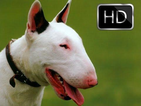 Bull Terrier Hakkında Bilgiler