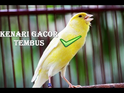 Download Lagu Suara Kenari Gacor Panjang Calon JUARA 😱 😱