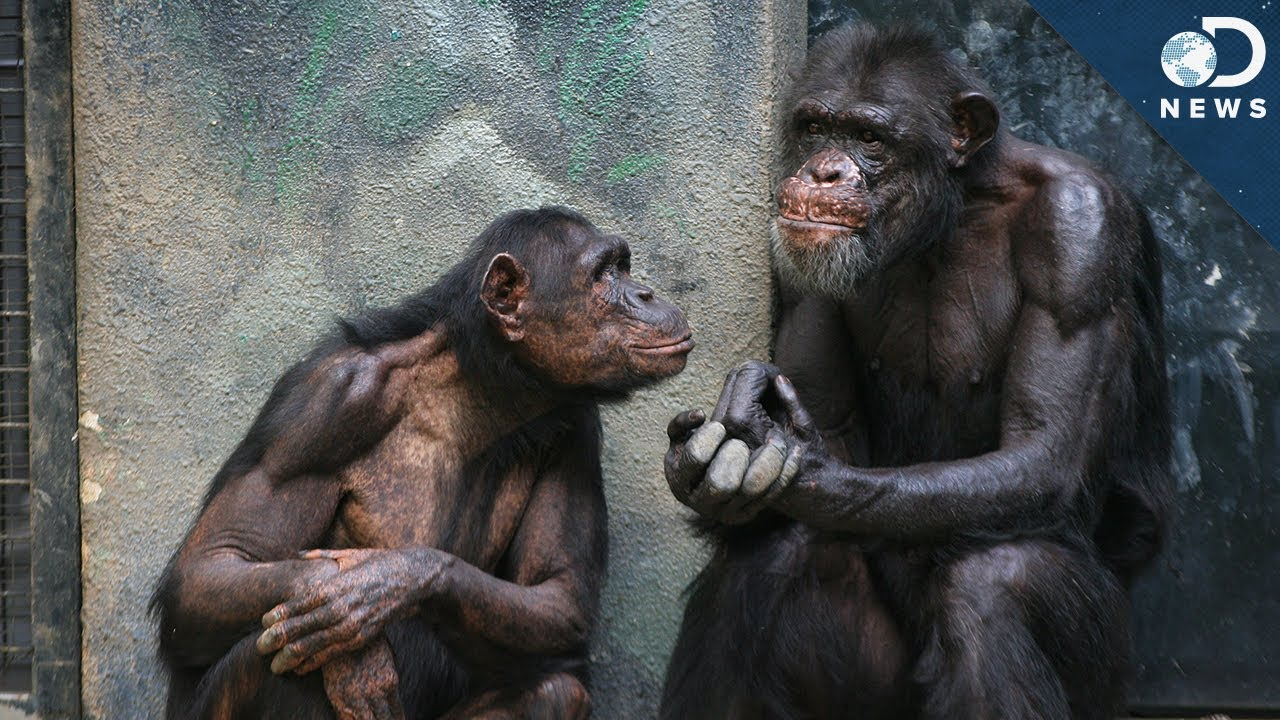 Image result for chimp talking with a man
