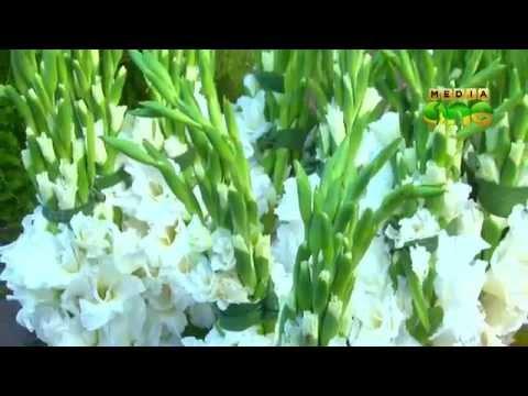 Njatuvela - Agricultural Awareness - Hi tech Dutch Rose farming-Part 1 (Episode 01)