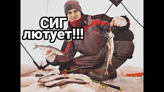 Сиг рвёт леску Хороший клёв не той рыбы Зимняя рыбалка на хвостах