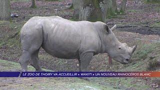 Yvelines | Le zoo de Thoiry va accueillir «Wakiti» un nouveau rhinocéros blanc