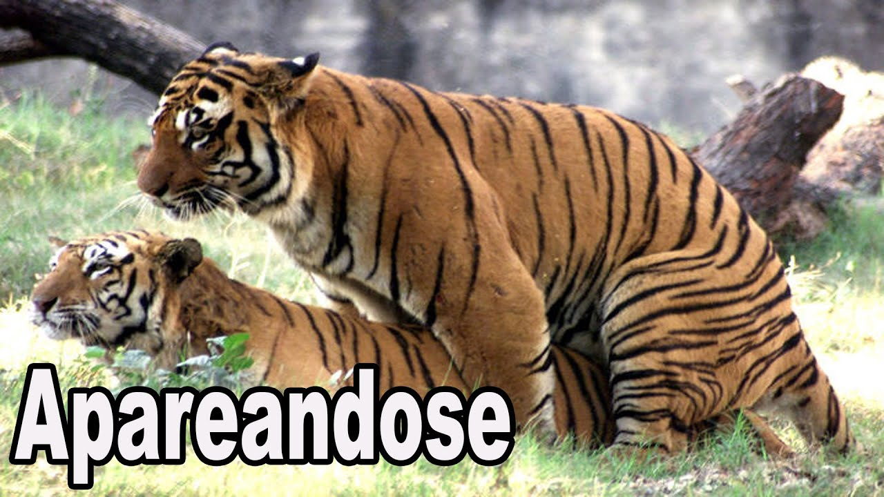 Tigres Apareandose - YouTube