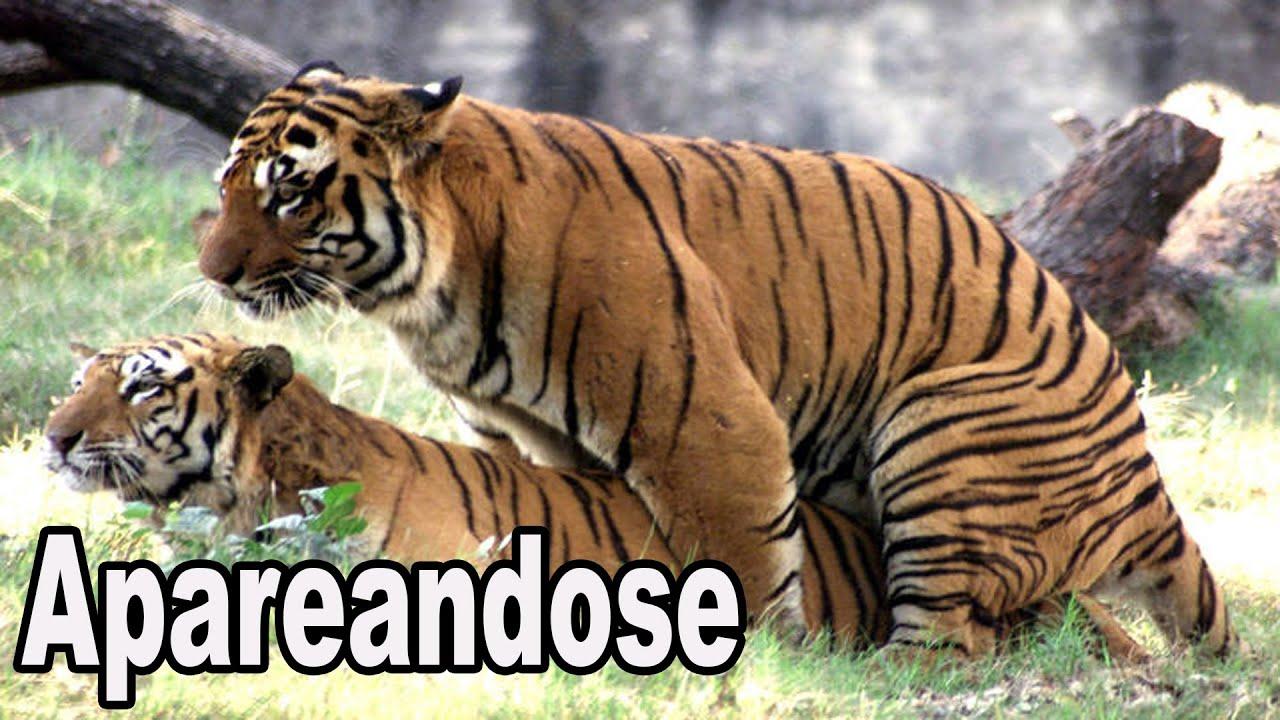 Tigres apareandose youtube - Imagenes de animales apareandose ...