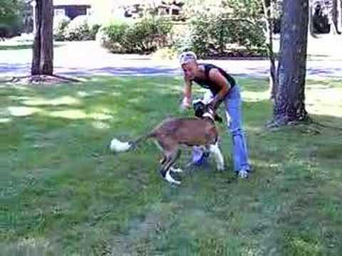 alpha dog training  video