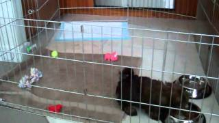 Cute Shih Tzu Puppy Flips/falls Over And Acts Like It Never Happened....you'll Laugh Mp4