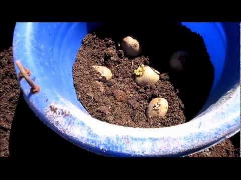 Container Grown Potatoes, Part 1