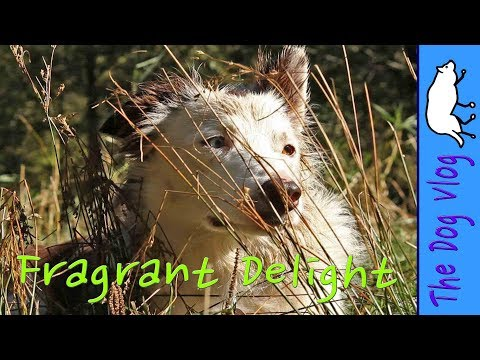 Dog Haiku - Sweet Fragrant Delight - by Border Collies