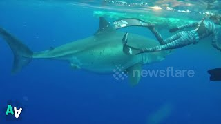 Divers Swim with 20-foot-long Great White off Hawaii Coast