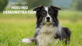 Border Collie Herding Demonstration