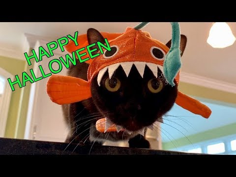 Cute Burmese Cats in Halloween Hats! Adorable & Funny!