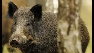 Stalking Wild Boar in Super Thick Brush {Catch Clean Cook}