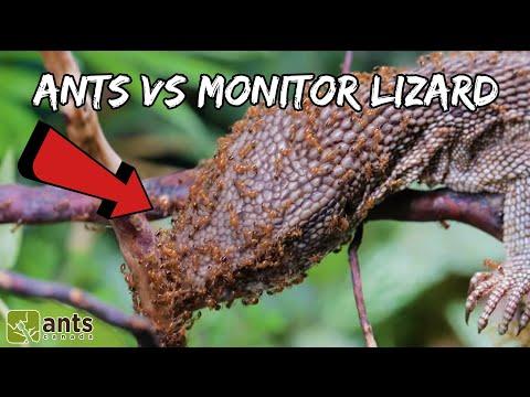 I Gave My Fire Ants A Monitor Lizard