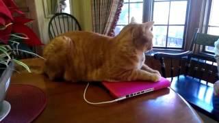 кот не подпускает к ноутбуку