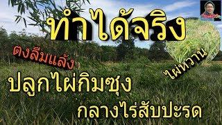 #ปลูกไผ่กิมซุง กลางไร่สับปะรด#ไผ่ตงลืมแล้ง#ไผ่หวาน#Bamboo#Phi#