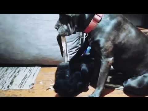 Взрослая кане корсо играет с щенком!