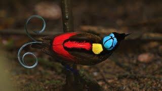 Wilson's Bird-of-Paradise thumbnail