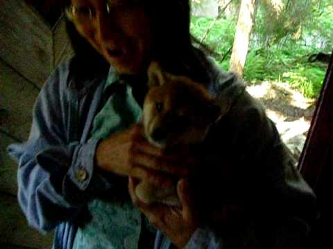 Shiba Puppy Surprise!