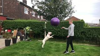 Bull terriers are funny