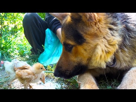German Shepherd Meets Cute Chicks For The First Time - Bubu The Dog