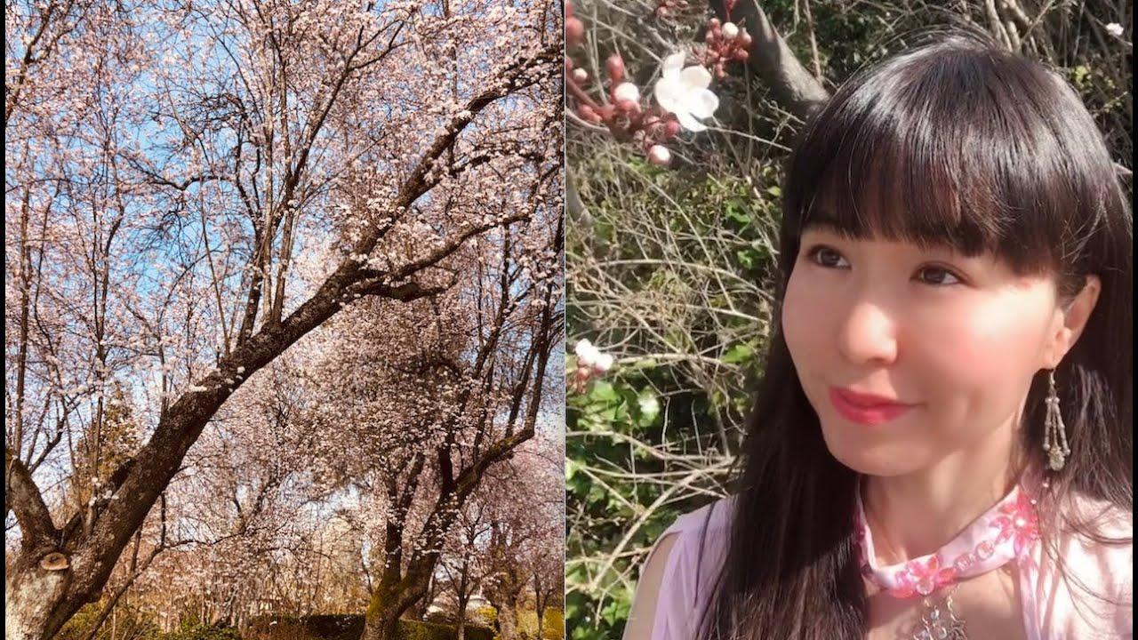 Sakura Sakura with koto/guzheng