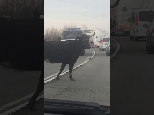 Una vaca se pasea por las carreteras de Tudela