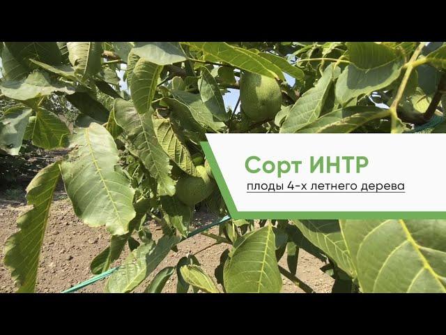 Грецкий орех ИНТР плоды 4 х летнего дерева