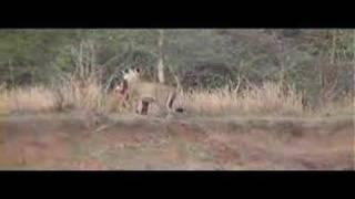 Lion Runs Away With Kill