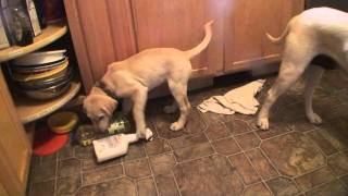 Apollo Make Akc Labrador Retriever 9 Weeks Old And Other Lab Puppies.m2ts