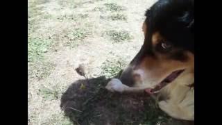 chien qui joue avec un lérot