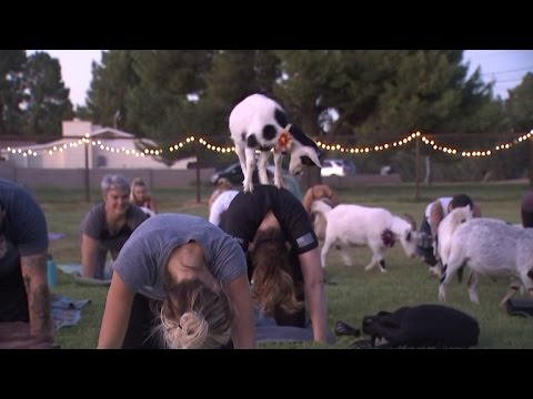 Watch People Do Yoga with Adorable Tiny Goats On Their Backs