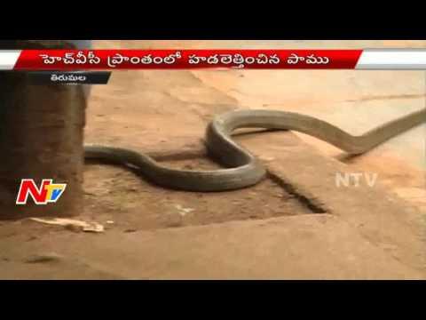 Cobra Snake hulchul in HVC area at Tirumala Tirupati | NTV