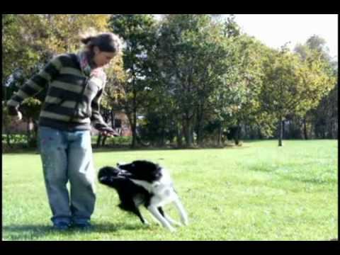 DOG TRICKS speedy border collie oberythmee dog dancing 3 years old